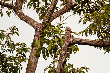 Great Potoo (Nyctibius grandis) camouflaged on a tree, Tortuguero National Park, Costa Rica, January  -  Martin Gabriel/ npl