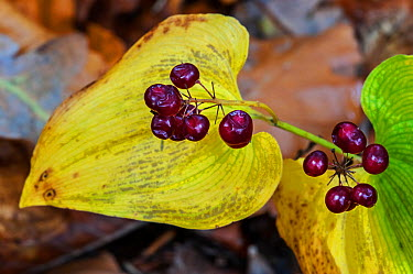 Close-up of the berries of a False lily of the valley (Maianthemum bifolium), Belgium, October  -  Philippe Clement/ npl