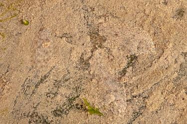 Three juvenile European Flounders (Platichthys flesus) camouflaged against silty estuarine sediment The River Tweed, Berwick-upon-Tweed, Northumberland, UK May Photographed in mobile field studio  -  Alex Hyde/ npl