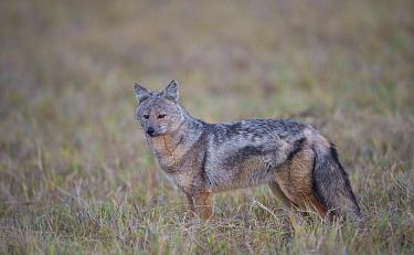 Side striped jackal (Canis adustus), Okavango Delta, Botswana  -  Wim van den Heever/ npl