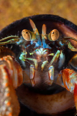 Common Hermit Crab (Pagurus bernhardus) in shell of Edible Periwinkle (Littorina littorea) This close up shows the compound eyes Northumberland, UK May  -  Alex Hyde/ npl