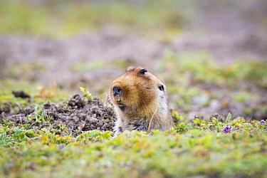 Big-headed mole rat (Tachyoryctes macrocephalus) appearing from its hole, Bale Mountains National Park, Ethiopia  -  Will Burrard-Lucas/ npl
