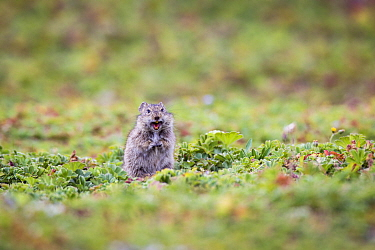 Blicks grass rat (Arvicanthis blicki) making alarm call, Bale Mountains National Park, Ethiopia  -  Will Burrard-Lucas/ npl
