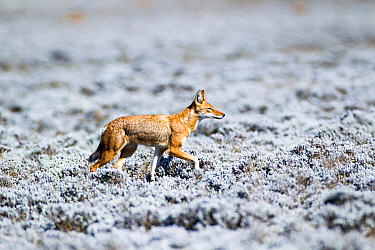 Ethiopian Wolf (Canis simensis) in white heather, afroalpine moorland, Sanetti Plateau, Bale Mountains National Park, Ethiopia  -  Will Burrard-Lucas/ npl