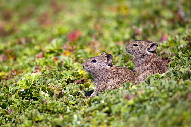 Blicks grass rats (Arvicanthis blicki) by their hole, Bale Mountains National Park, Ethiopia  -  Will Burrard-Lucas/ npl
