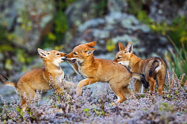 Ethiopian Wolf (Canis simensis) cubs playing, Bale Mountains National Park, Ethiopia  -  Will Burrard-Lucas/ npl