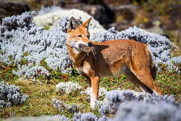 Ethiopian Wolf (Canis simensis) feeding on Grass rat (Arvicanthis) Bale Mountains National Park, Ethiopia  -  Will Burrard-Lucas/ npl