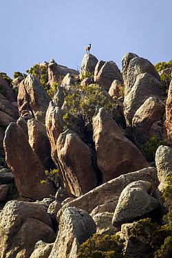 Klipspringer (Oreotragus oreotragus) looks out over the granite bolder fields of Rafu Bale Mountains National Park, Ethiopia  -  Will Burrard-Lucas/ npl