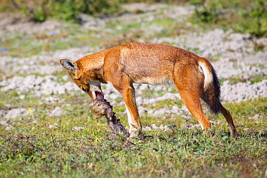 Ethiopian wolf (Canis simensis) eating Giant mole rat (Tachyoryctes macrocephalus) Bale Mountains National Park, Ethiopia  -  Will Burrard-Lucas/ npl
