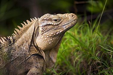 Cayman Island brown iguana (Cyclura nubila caymanensis) on the beach, Cayman Brac, Cayman Islands Critically endangered species  -  Will Burrard-Lucas/ npl