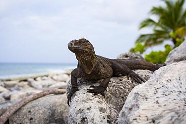 Young Cayman Island brown iguana (Cyclura nubila caymanensis) on the beach, Little Cayman Critically endangered species  -  Will Burrard-Lucas/ npl