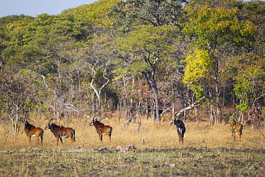 Sable antelope (Hippotragus niger kirkii) male with females, Busanga Plains, Kafue National Park, Zambia  -  Will Burrard-Lucas/ npl