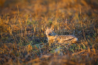 Side striped jacakal (Canis adustus) resting, Busanga Plains, Kafue National Park, Zambia  -  Will Burrard-Lucas/ npl