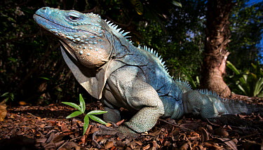 Grand Cayman Island blue iguana (Cyclura lewisi) in captive breeding program at Queen Elizabeth II Botanic Park, Grand Cayman Island, Cayman Islands  -  Will Burrard-Lucas/ npl