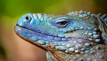 Grand Cayman Island blue iguana (Cyclura lewisi) close up portrait, in captive breeding program at Queen Elizabeth II Botanic Park, Grand Cayman Island, Cayman Islands  -  Will Burrard-Lucas/ npl