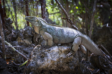 Grand Cayman Blue iguanga (Cyclura lewisi) Salina Reserve, Grand Cayman Island, Cayman Islands  -  Will Burrard-Lucas/ npl