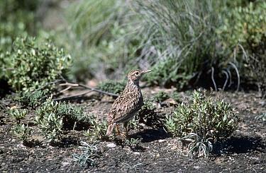 Duponts Lark (Chersophilus duponti) in spring, northern Spain  -  Alan Williams/ npl