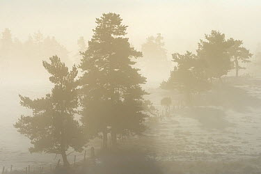 Trees silhouetted in mist, Plateau dAubrac in winter, Lozere, Auvergne, France, December 2013  -  Fabrice Cahez/ npl
