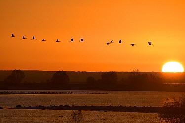 Common crane (Grus grus) flock flying at sunrise, Lac du der, Champagne, France, November  -  Fabrice Cahez/ npl