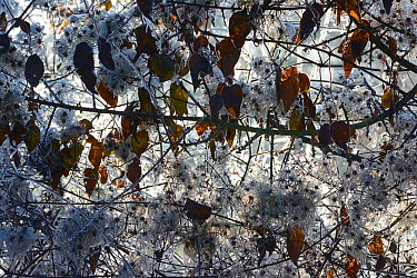 Frost on Old Mans Beard seedheads (Clematis vitalba) in winter, Vosges, France  -  Fabrice Cahez/ npl