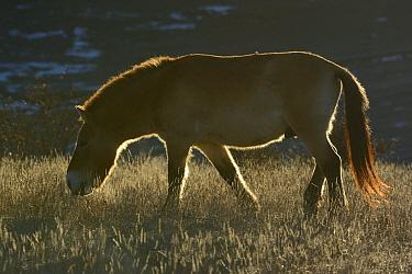 Przewalskiis wild horse (Equus ferus przewalskii) Le Villaret, Causse Mejean, Lozere, France, December  -  Fabrice Cahez/ npl
