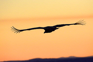 Eurasian griffon vulture (Gyps fulvus) in flight, silhouetted at dusk, Gorges de la Jonte, France, December  -  Fabrice Cahez/ npl