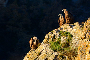 Eurasian griffon vulture (Gyps fulvus) group of three on rocks, Gorges de la Jonte, France, December  -  Fabrice Cahez/ npl