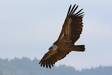 Eurasian griffon vulture (Gyps fulvus) in flight, Gorges de la Jonte, France, December  -  Fabrice Cahez/ npl