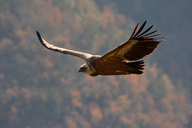 Eurasian griffon vulture (Gyps fulvus) in flight, Gorges de la Jonte, France, December  -  Fabrice Cahez/ npl