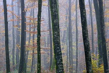 Misty Beech (Fagus sylvatica) forest in autumn, Vosges mountains, France, November 2013  -  Fabrice Cahez/ npl