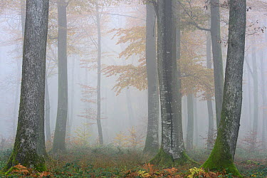 Misty Beech (Fagus sylvatica) forest in autumn, Vosges mountains, France, November 2013  -  Fabrice Cahez/ npl