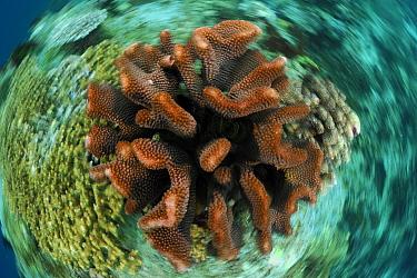 Stony coral (Pocillopora sp) Raja Ampat, West Papua, Indonesia, Pacific Ocean  -  Solvin Zankl/ npl