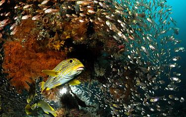 Yellow-ribbon sweetlip (Plectorhinchus polytaenia) swimming past shoal of smaller fish, Raja Ampat, West Papua, Indonesia, Pacific Ocean  -  Solvin Zankl/ npl