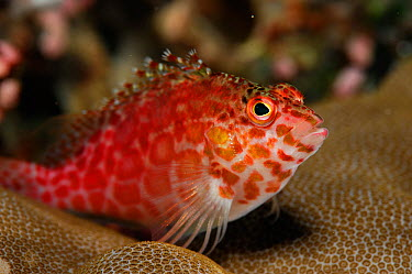Spotted hawkfish (Cirrhitichthys aprinus) portrait, above coral, Raja Ampat, West Papua, Indonesia, Pacific Ocean  -  Solvin Zankl/ npl