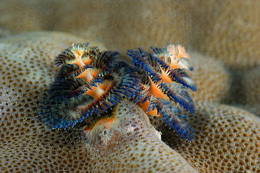 Christmas tree worms (Spirobranchus giganteus) on Porites coral (Porites sp) Raja Ampat, West Papua, Indonesia, Pacific Ocean  -  Solvin Zankl/ npl
