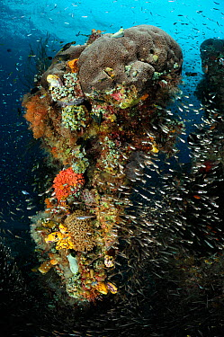 Rich reef landscape with Stone coral, Tunicates, Bryozoa and Reef fish, Raja Ampat, West Papua, Indonesia, Pacific Ocean  -  Solvin Zankl/ npl