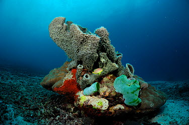 Tube sponge (Niphates callista) on stone coral, Raja Ampat, West Papua, Indonesia, Pacific Ocean  -  Solvin Zankl/ npl