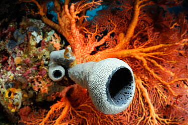 Tube sponge (Cribrochalina sp) and Coral, Raja Ampat, West Papua, Indonesia, Pacific Ocean  -  Solvin Zankl/ npl