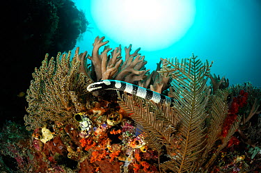Belchers sea snake (Hydrophis belcheri) on coral reef, Raja Ampat, West Papua, Indonesia, Pacific Ocean  -  Solvin Zankl/ npl