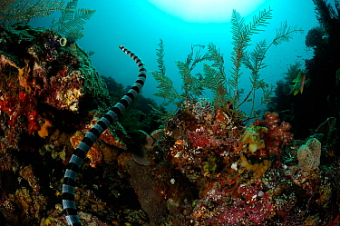 Belchers sea snake (Hydrophis belcheri) swimming over coral reef, Raja Ampat, West Papua, Indonesia, Pacific Ocean  -  Solvin Zankl/ npl