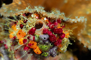 Cluster of colourful Sea tunicates, including Strawberry tunicates (Didemnidae) Raja Ampat, West Papua, Indonesia, Pacific Ocean  -  Solvin Zankl/ npl