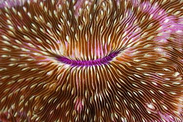 Mushroom coral (Fungia sp) Raja Ampat, West Papua, Indonesia, Pacific Ocean  -  Solvin Zankl/ npl