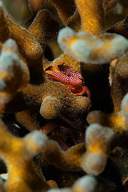 Red spotted guard crab (Trapezia tigrina) resting in Stone coral (Acropora sp) Raja Ampat, West Papua, Indonesia, Pacific Ocean  -  Solvin Zankl/ npl