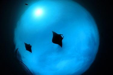 Two Giant manta rays (Manta birostris) feeding on plankton, North Raja Ampat, West Papua, Indonesia, Pacific Ocean, Vulnerable species  -  Solvin Zankl/ npl