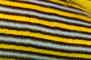 Yellow-ribbon sweetlip (Plectorhinchus polytaenia) close up of stripes, Raja Ampat, West Papua, Indonesia, Pacific Ocean  -  Solvin Zankl/ npl