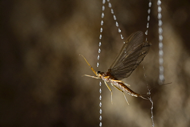 Mayfly caught in the sticky silk threads made by Fungus gnat (Arachnocampa luminosa) larvae, Glowworm cave near Waitomo Cave, near Te Kuiti, North Island, New Zealand, July  -  Solvin Zankl/ npl