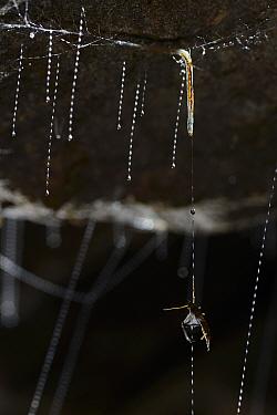 Fungus gnat (Arachnocampa luminosa) larva with prey caught in sticky silk thread, Glowworm cave near Waitomo Cave, near Te Kuiti, North Island, New Zealand, July  -  Solvin Zankl/ npl