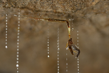 Fungus gnat (Arachnocampa luminosa) larva pulling up Mayfly caught in sticky silk thread hanging from cave roof, Glowworm cave near Waitomo Cave, near Te Kuiti, North Island, New Zealand, July  -  Solvin Zankl/ npl