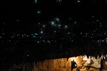 Bioluminescent Fungus gnat (Arachnocampa luminosa) larvae on cave roof and sticky silk threads hanging down, with a person in the background, Glowworm cave near Waitomo Cave, near Te Kuiti, North Isla...  -  Solvin Zankl/ npl