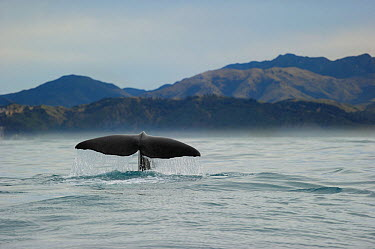 Sperm whale (Physeter macrocephalus) tail fluke above water before diving, Kaikoura, New Zealand, July, Vulnerable species  -  Solvin Zankl/ npl